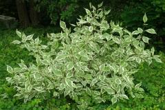 Cornus-alba-Elegantissima
